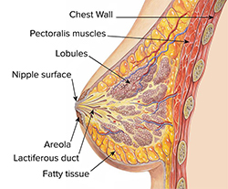 Anatomy of a breast