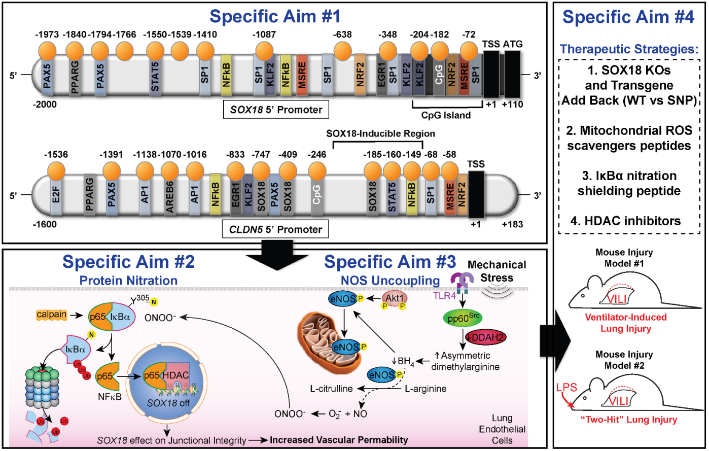 Figure: Effects of Inflammatory Signaling on the SOX18/CLDN5 Axis. SA #1 will assess the genetic and epigenetic regulation of SOX18 and CLDN5 promoter activities by mechanical stress and define how promoter SNPs alter promoter activities. SA #2 will define mechanical stress-evoked PTMs (nitration) involved in NFκ-B mediated activation and tight junction disruption. SA #3 will define the signaling pathway responsible for generating the peroxynitrite in response to mechanical stress and the PTMs involved (phosphorylation, ubiquitination). SA #4 will evaluate SOX18 over-expression, novel mitochondrial targeted ROS-scavenging peptides, IκBα targeted nitration-shielding peptides, and HDAC inhibitors as potential VILI therapeutic strategies to reducing the severity of VILI/ARDS.