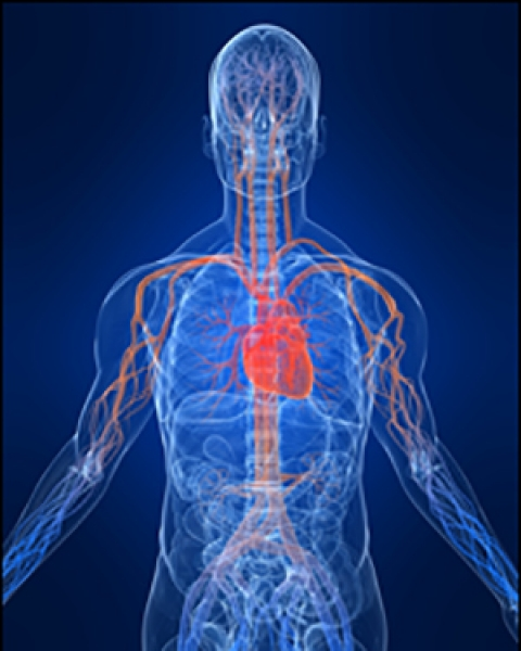 Image illustrating the human circulatory system
